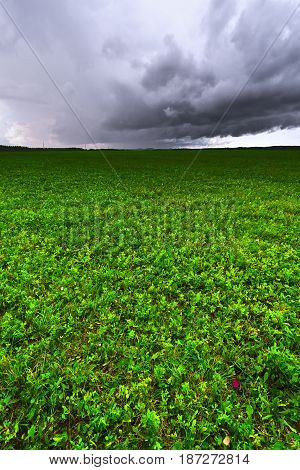 Agriculture field with green grass. Looming thunderstorms and Cumulus clouds.