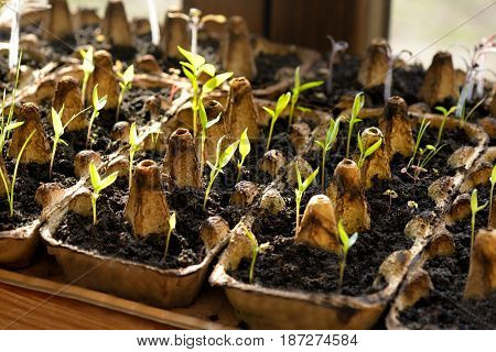 Gardening background. Tomato seedling growing out from soil. Close-up of green seedling growing out of soil. Sprouting tomato seedlings.