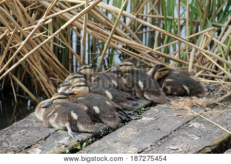 Ducklings of mallard or wild duck (Anas platyrhynchos)