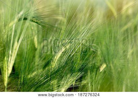 Unripe wheat (wheat field) - green wheat field , agricultural field