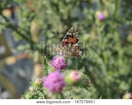 Butterfly sitting on a Thistle flower and drinks the nectar