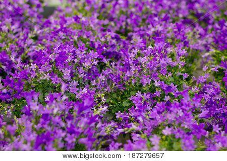 Floral background of purple flowers in bokeh
