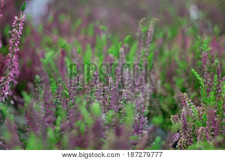 Floral background of purple lavender flowers on field