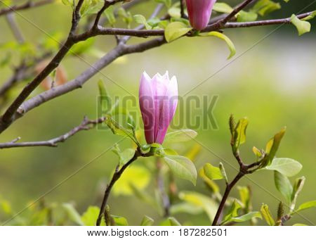 Magnolia flower on the tree branch