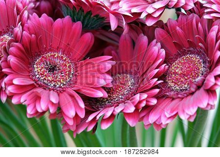 Beautiful red gerbera close up Foto of the sprinf flower.