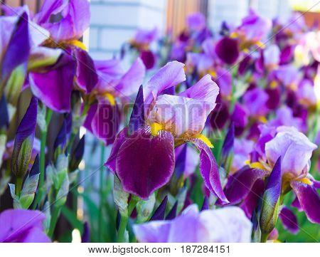 Close-up of a many  flowers of bearded iris (Iris germanica). Flower bed of irises. Iridarius