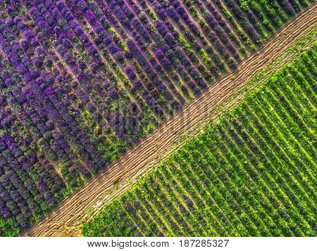 Aerial view of lavender and wheat field