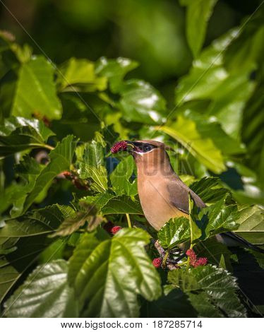 Brown waxwing bird eating a red mulberry surrounded by green leaves