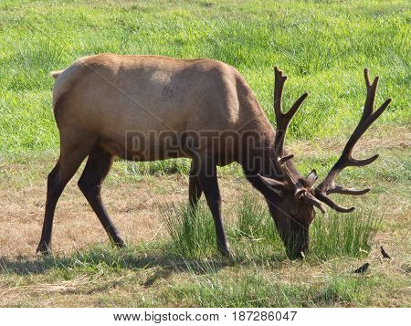 An Elk is comfortably grazing and enjoying the afternoon sun with a couple of companion birds