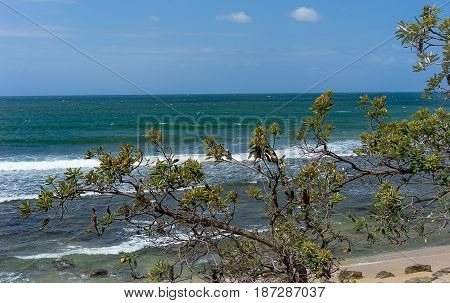 Australian Banksia integrifolia or coast banksia with windy day rough ocean background