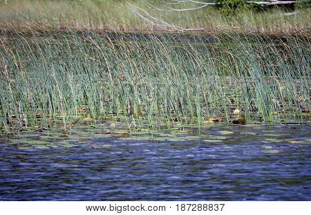 Great bulrushes (Schoenoplectus tabernaemontani), also called softstem bulrushes and grey club-rush, grow in Spring Lake Park, between Harbor Springs and Petoskey, Michigan, during August.