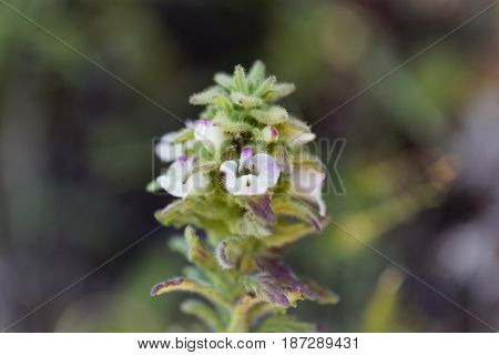 Macro photo of a Belardia flower (Bartsia trixago).