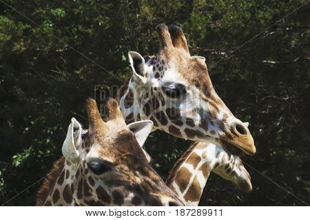 A photo of a group of giraffes in a zoo
