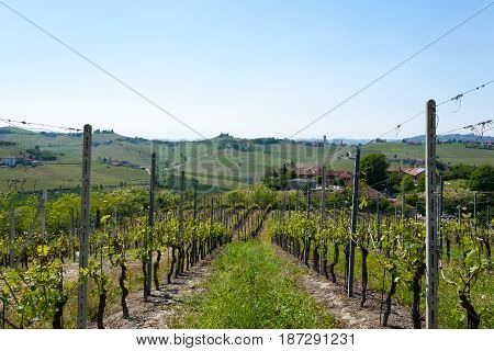 Landscape With Vineyards From Langhe,italian Agriculture