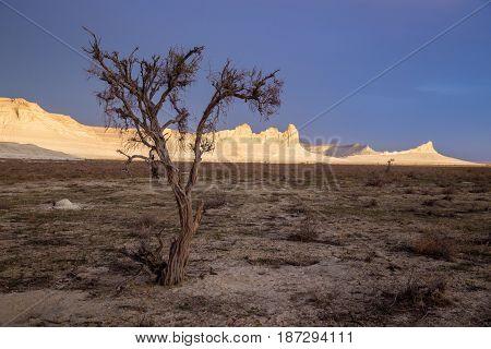 Dry saxaul in the desert on background of peaked white rocks, Boszhira canyon, plateau Ustyurt, Kazakhstan