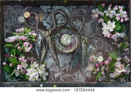 Art still life with two pair of old huge rusty scissors old stopwatch in the round bowl around the twigs with the flowers of the apple tree pink and white the burgundy background.