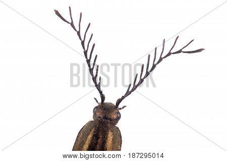 Detail Head Of Brown Beetle
