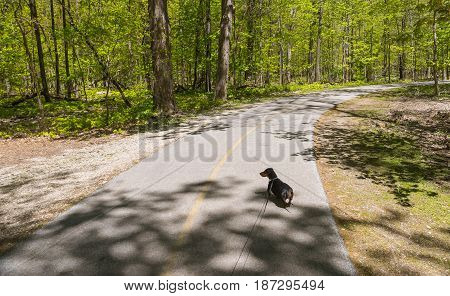 Young Black Dachshund On An Alley In The Park