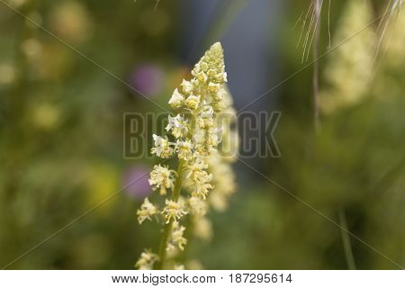Flowers of a yellow mignonette (Reseda lutea)