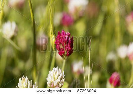 Flower of a narrowleaf crimson clover (Trifolium angustifolium)