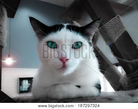 Sophisticated Turquoise Eyed Cat Posing for the Portrait