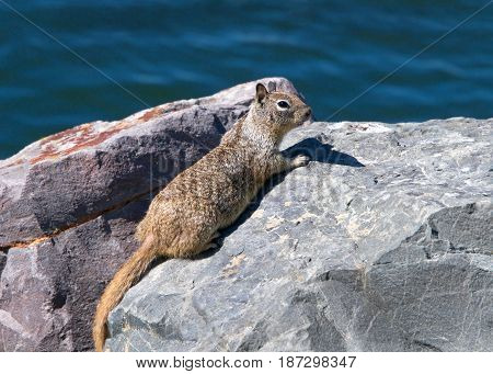 Ground squirrel perched looking out from rocks along the shoreline water in the background. The ground squirrel has a tendency to rise up on its hind legs to look for danger.