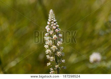 Flower of a white mignonette (Reseda alba)