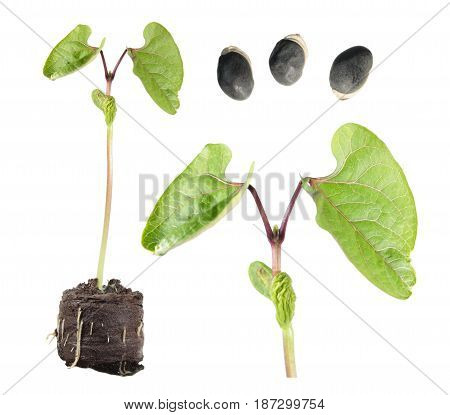 Seeds and seedling of Hyacinth Bean (Dolichos lablab) isolated on white background
