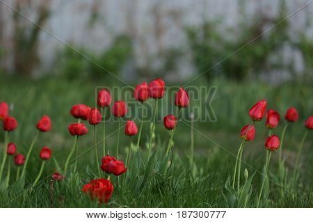 nature, plants, flowers, beauty, spring, tulips, Túlipa,perennial bulbs, Lily family, Liliaceae