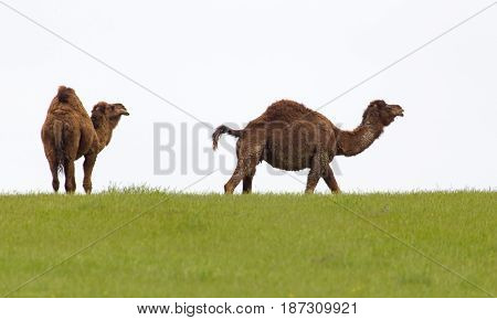 Camel in the pasture in the spring .