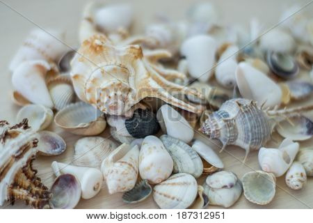 Sea shells collection. Conch shells. Close up.