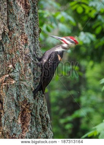 The pileated woodpecker (Dryocopus pileatus) is pecking at the tree head is in motion blur