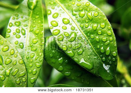 Green leaf with natural raindrops on it.