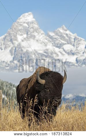 Close portrait of Bison with Grand Teton Mountains in the background