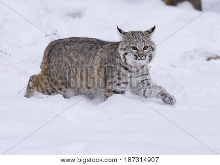 Bobcat walking in deep snow with one paw up