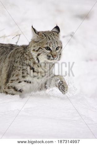 Bobcat walking in deep snow in winter