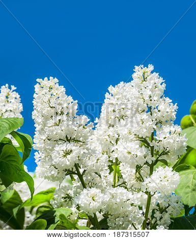 Lilac blooms. A beautiful bunch of flowers closeup. Spring Flowering. Lilac Bush Bloom. Lilac flowers in the garden.
