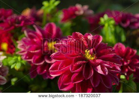 The garden of purple dahlias in the morning
