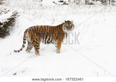 Amur (Siberian) tiger deep snow profile in winter