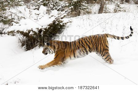 Amur (siberian) Tiger Running In Deep Snow Parallel To Viewer