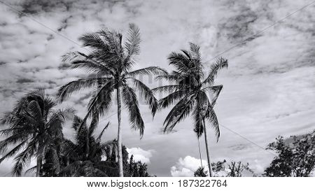 Black and white tone of coconut tree nature against with blue sky swaying in wind.