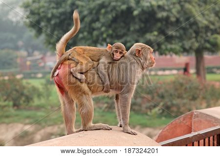 Urban rhesus macaque monkeys (Macaca mulatta) on the walls of the Agra Fort, India