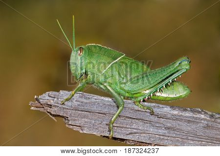 Nymph of a garden locust (Acanthacris ruficornis) on a branch, South Africa