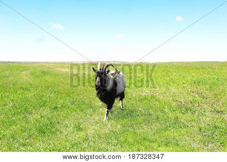 Cute goat in enclosure on farm