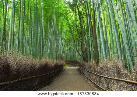 Bamboo forest of Arashiyama near Kyoto Japan