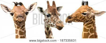 Giraffes isolated on white background panoramic view
