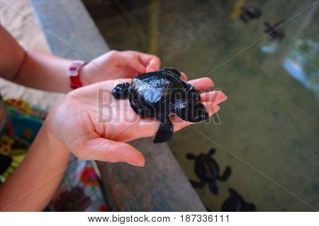 baby sea turtle, an endangered animal, amphibian of an Indian ocean srilanka, Asia