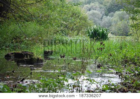 Springtime bog forest with standing water. Wild and dark swamp forest wilderness photography with green foliage and trees covered in moss, outdoor nature landscape.