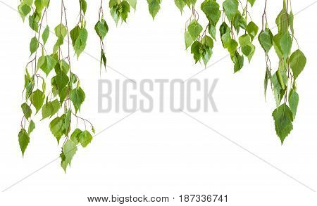 Background of the branches of the birch with young leaves and catkins hanging down left right and top with empty central part on a light background