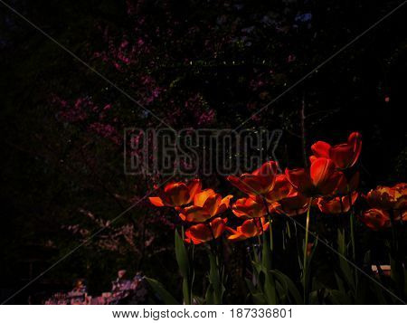 Fire red tulips and cherry blossom in Budapest botanical garden at twilight